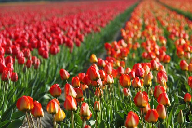 Torna Tulipani Italiani, il primo campo di tulipani u-pick alle porte di Milano